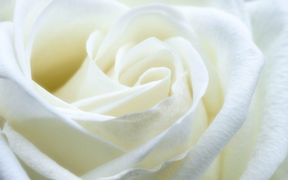 Banho de rosa branca para proteção e paz de espírito