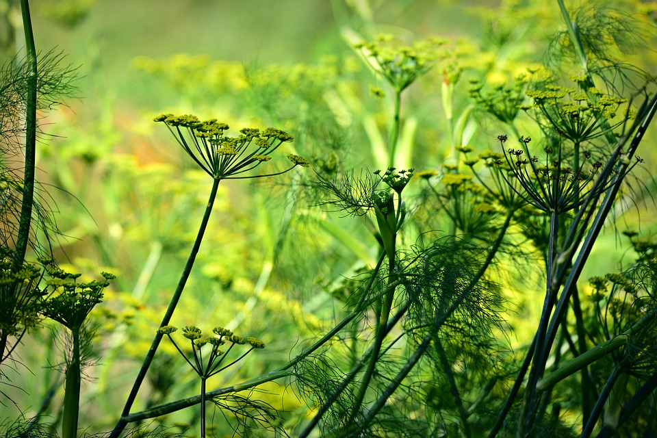 Simpatia para amor com açúcar cristal e erva doce