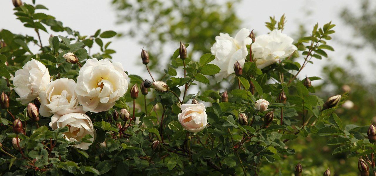 Banho de Rosa-branca para abrir novos caminhos